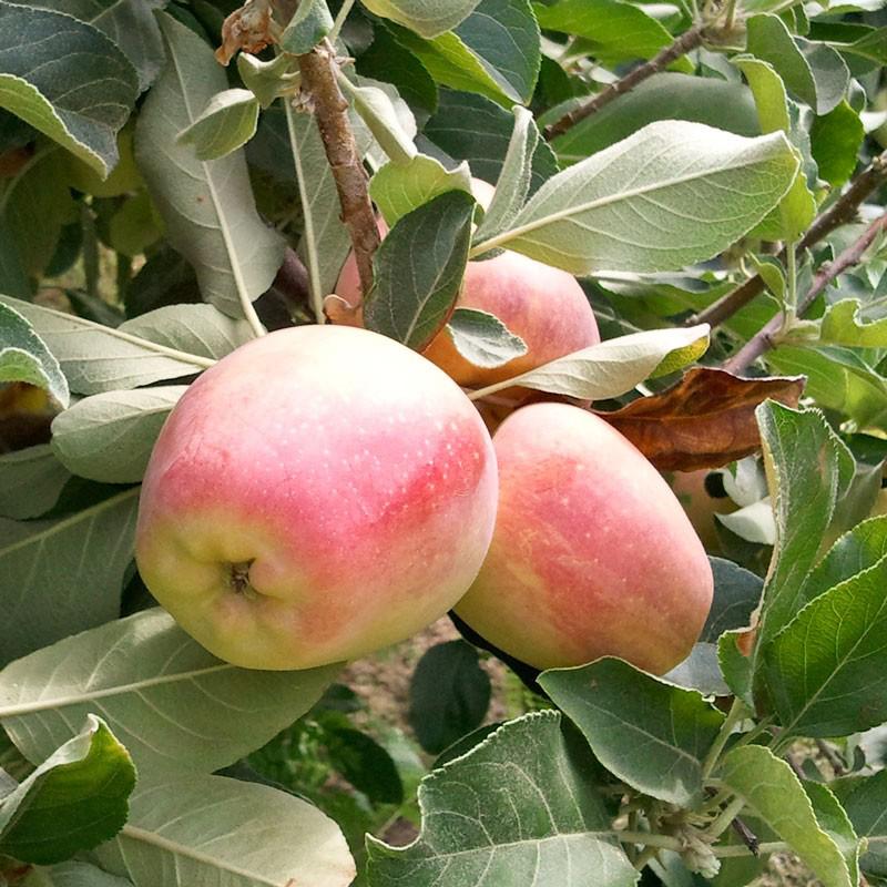 Apple Anna Semi