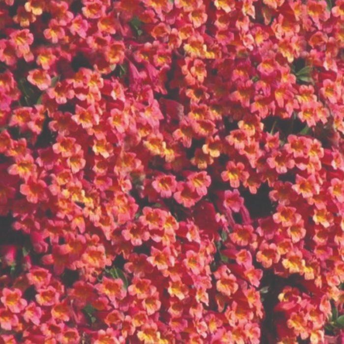 Bignonia Capreolata - Tangerine Beauty Vine