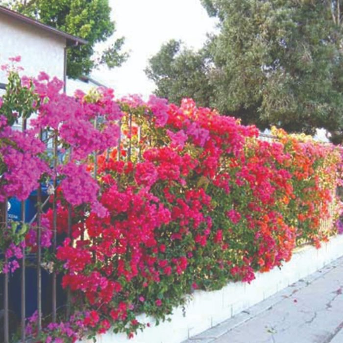 Bougainvillea Vine - Thai mix