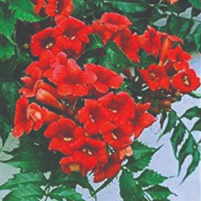 Campsis Flamenco - Red Trumpet Vine