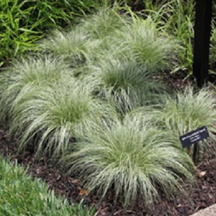 Carex Amazon Mist