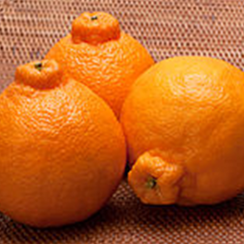 Citrus Dekkopon - Sumo Orange