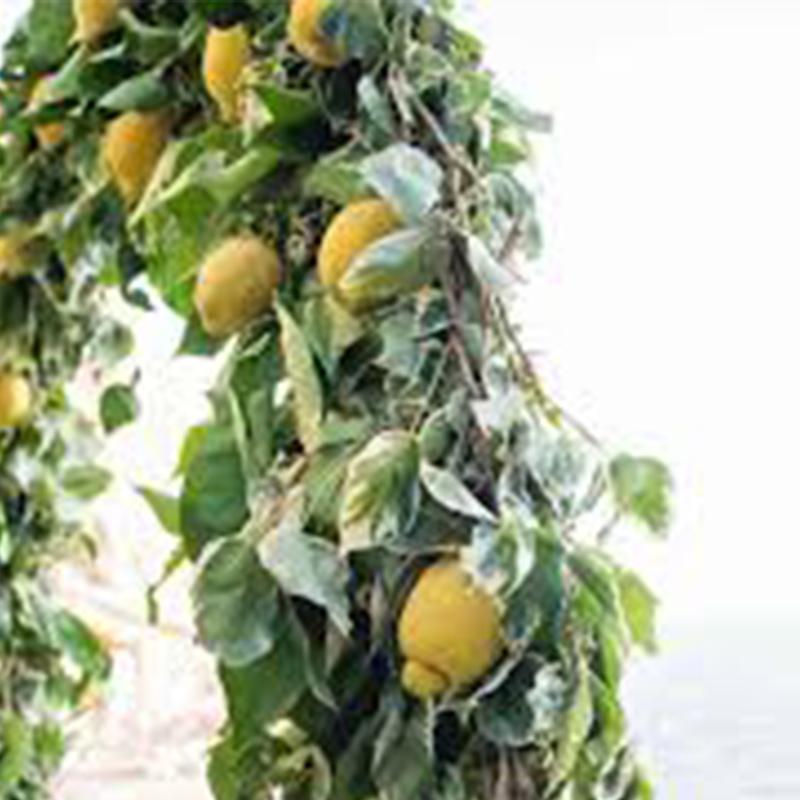 Citrus Limon Climbing