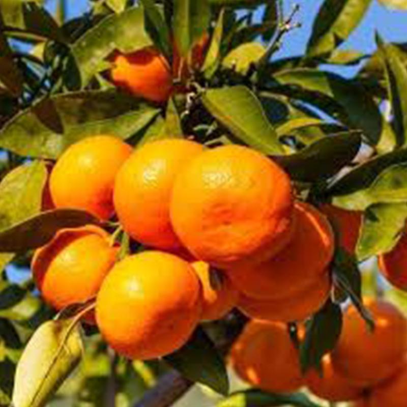 Citrus Satsuma