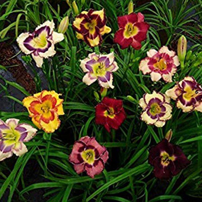 Daylily - Hemerocallis Mixed