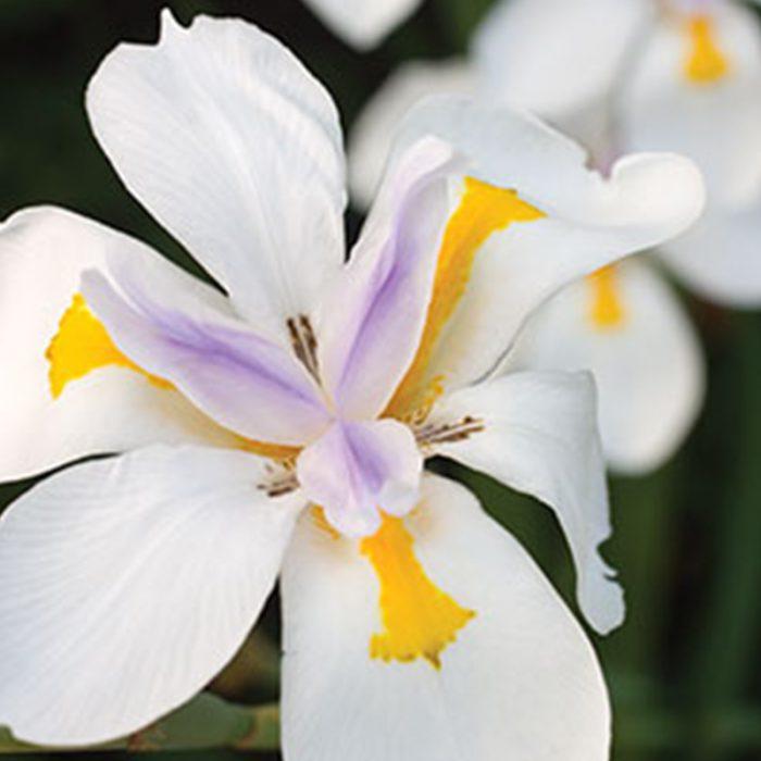 Fairy Iris - Dietis Grandiflora