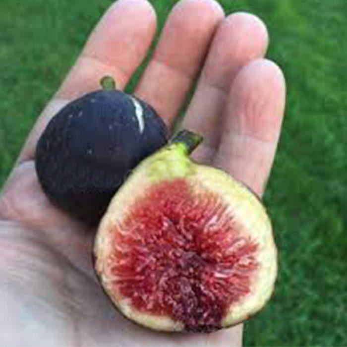 Fig Nero - Ficus Carica