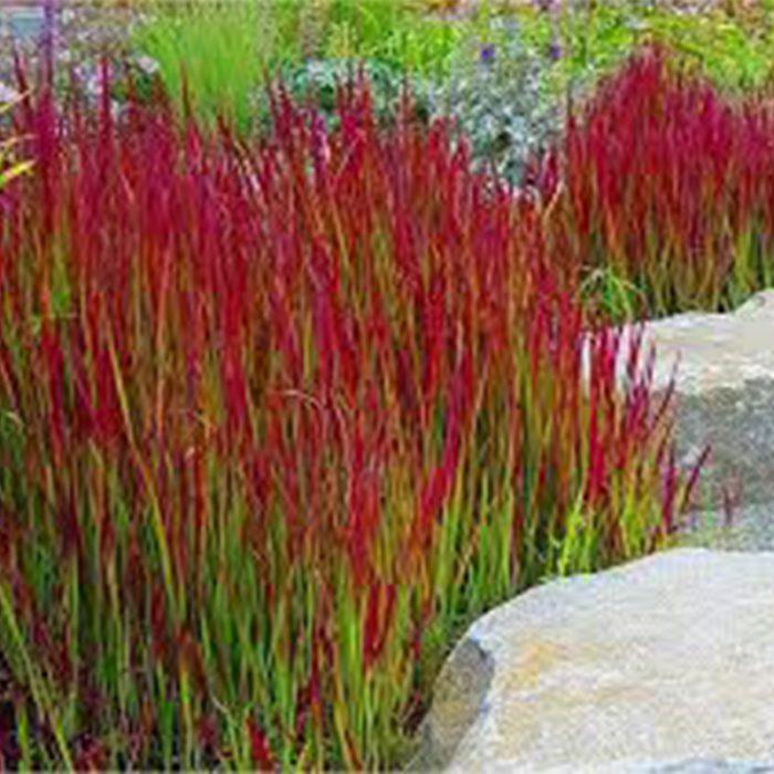 Japanese Blood Grass - Imperata Red Baron