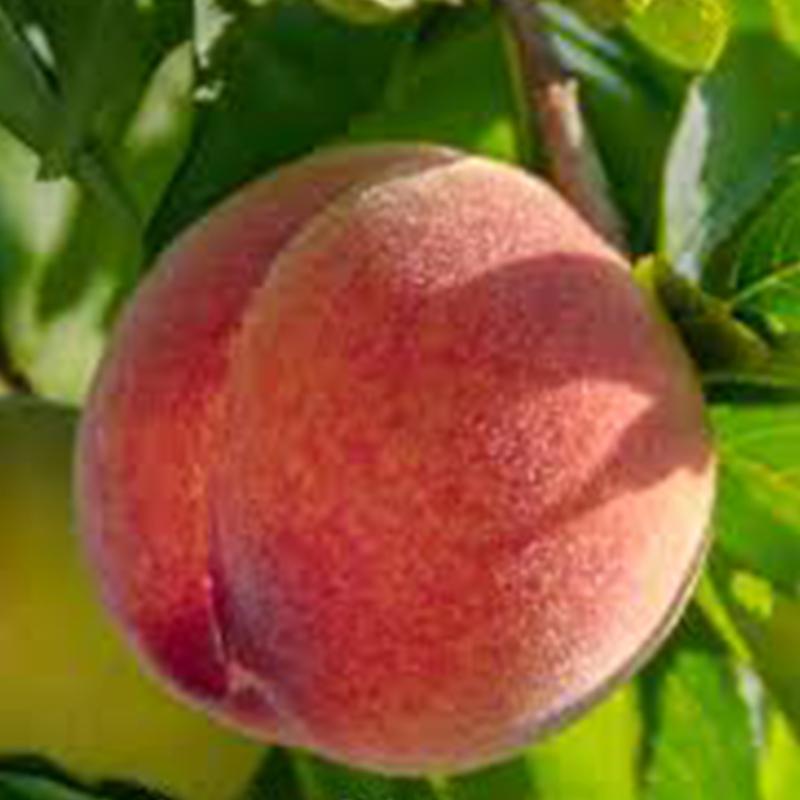 Peach Long Beach