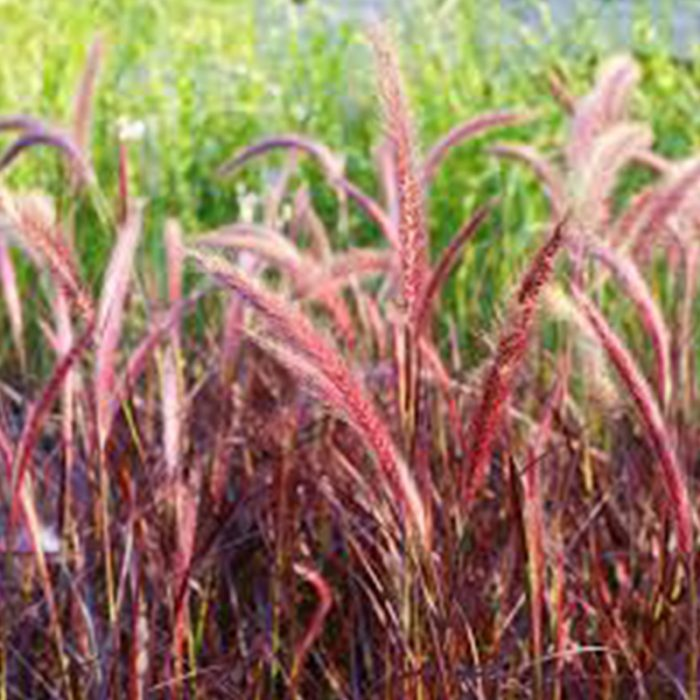 Red Grass - Pennisetum Rubrum