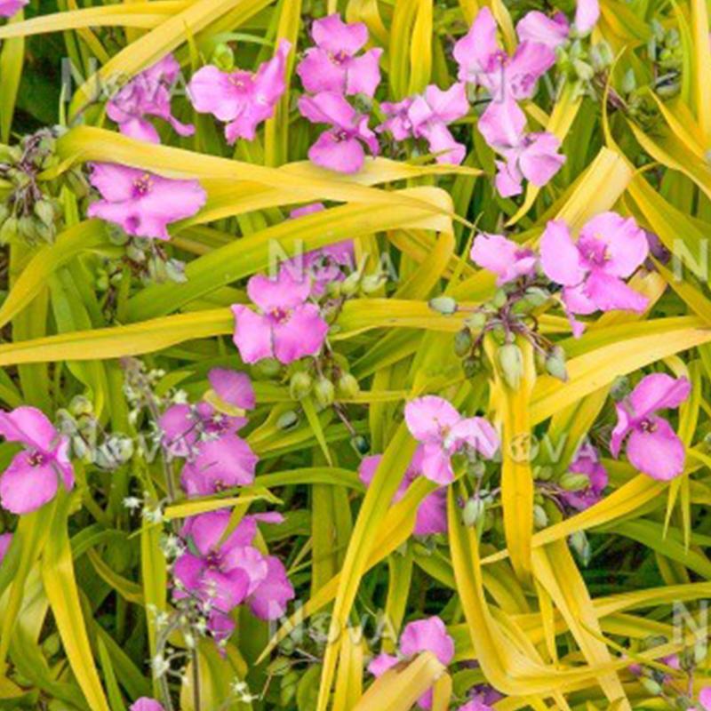 Spiderwort - Tradescantia Sunshine Charm