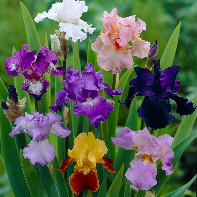 Tall Bearded Iris - Iris Germanica